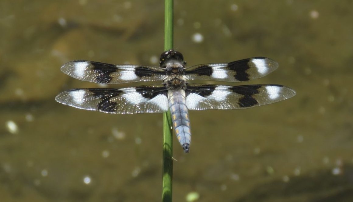 IMG_3665 Eight-spotted Skimmer - male