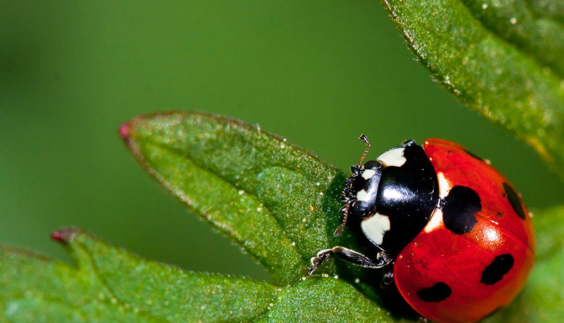Ladybug by Quentin Furrow